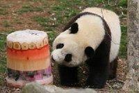 """在美国首都华盛顿国家动物园里,熊猫宝宝""""泰山""""在享用""""果冰"""""""