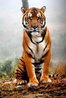 词条标签:猫科虎灭绝动物豹属豹亚科