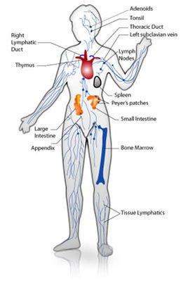 脾的组织结构脾是体内形体最大的淋巴器官