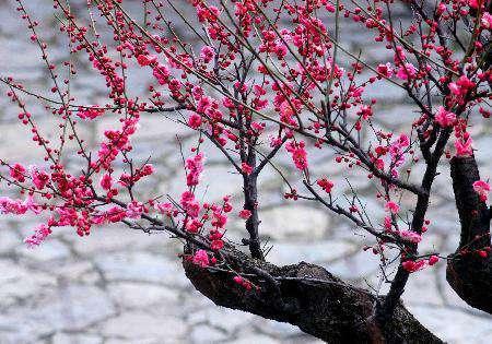 梅花树干铅笔画