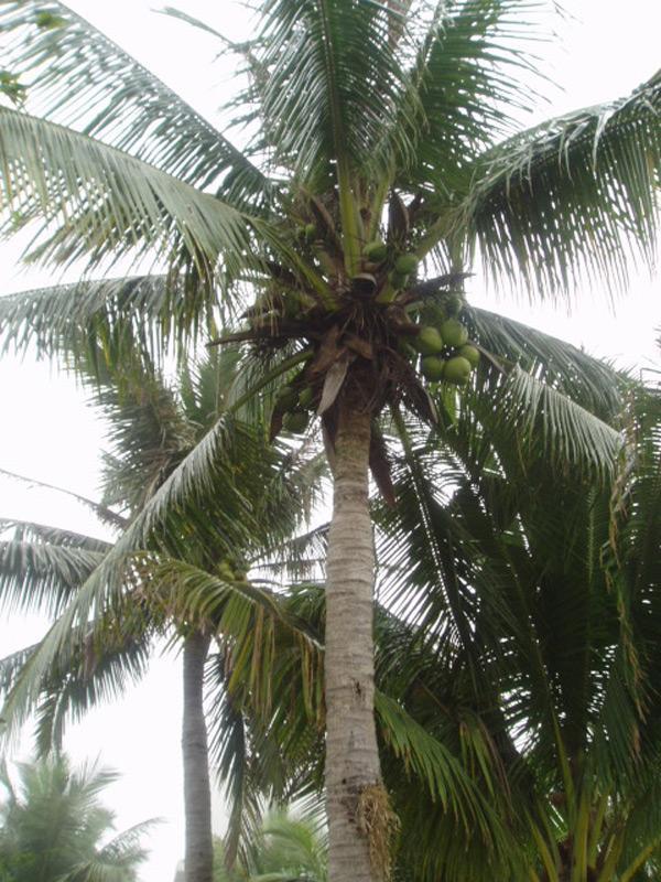 科属:棕榈科,椰子属 产地:主要分布在亚洲 折叠 编辑本段 用途 椰子